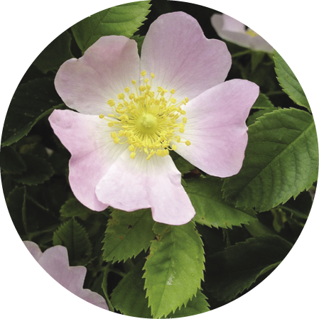 Rugosa Rose Shrub